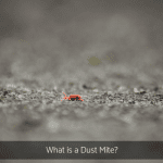 What Is A Dust Mite?